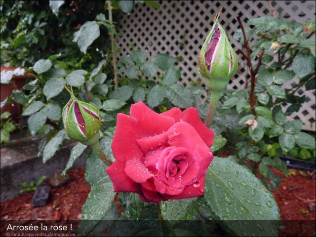 rose-arrosee
